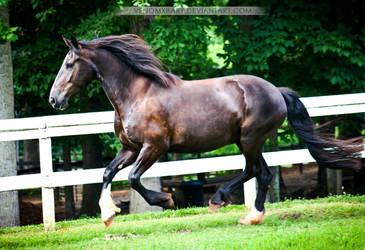 black friesian cross mare 2