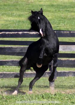 black stallion rearing 3