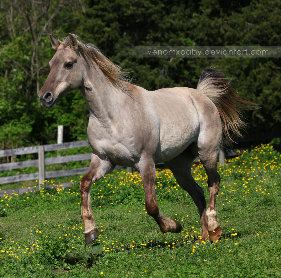 silver grulla mare 4 by venomxbaby