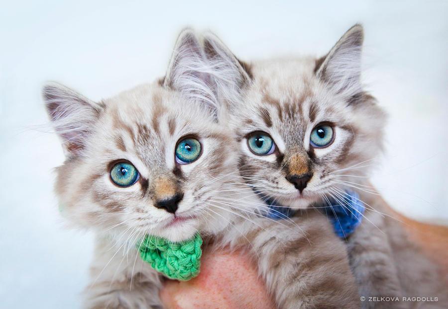 mink ragdoll kitten twins by venomxbaby