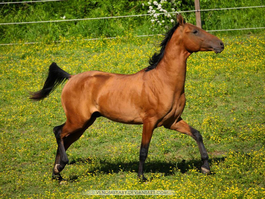 bay dun akhal teke stallion by venomxbaby