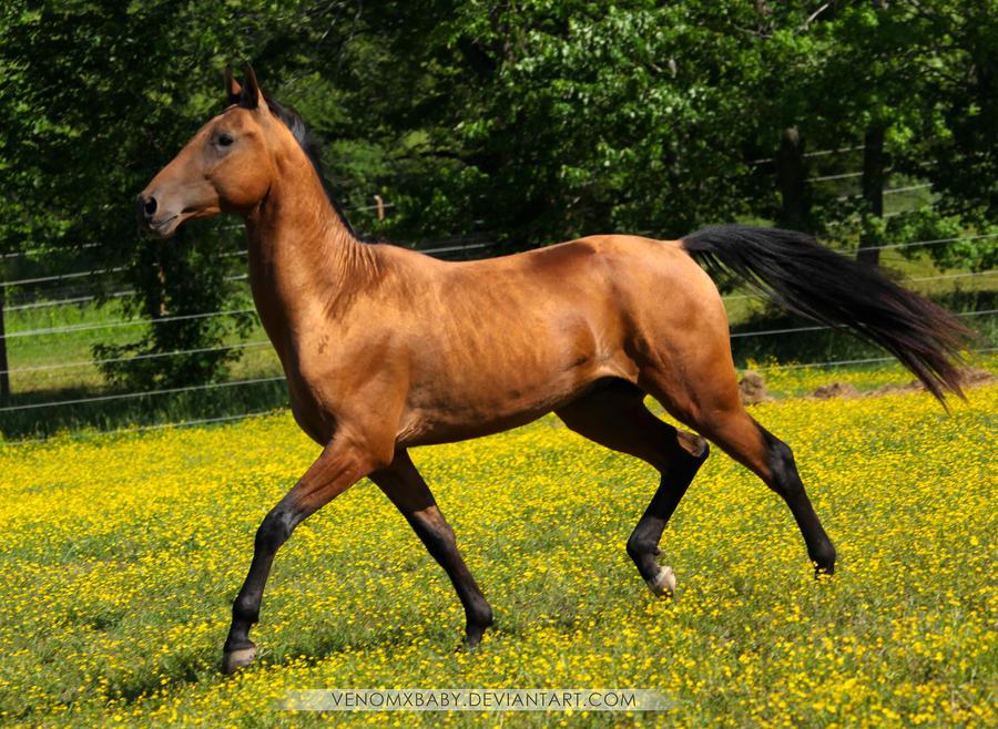 bay dun akhal teke stallion 2 by venomxbaby