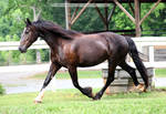 friesian x clydesdale mare 1