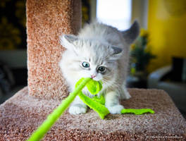 playful mink ragdoll kitten