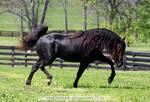 black rmh stallion 1