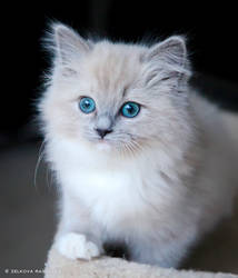 kitten with teal eyes