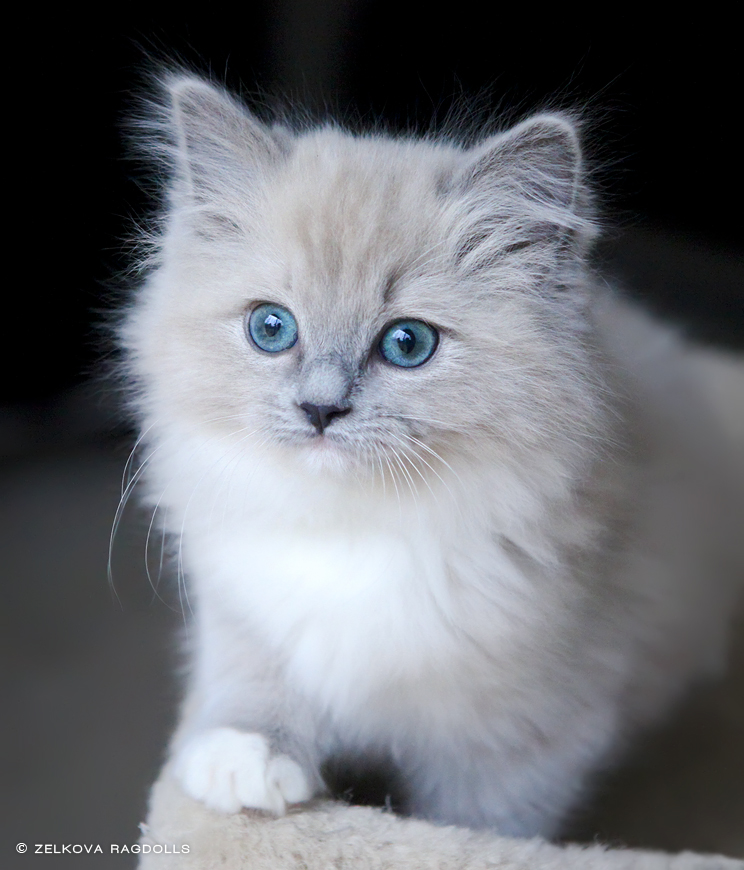 kitten with teal eyes by venomxbaby