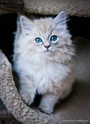 fluffy ragdoll kitten