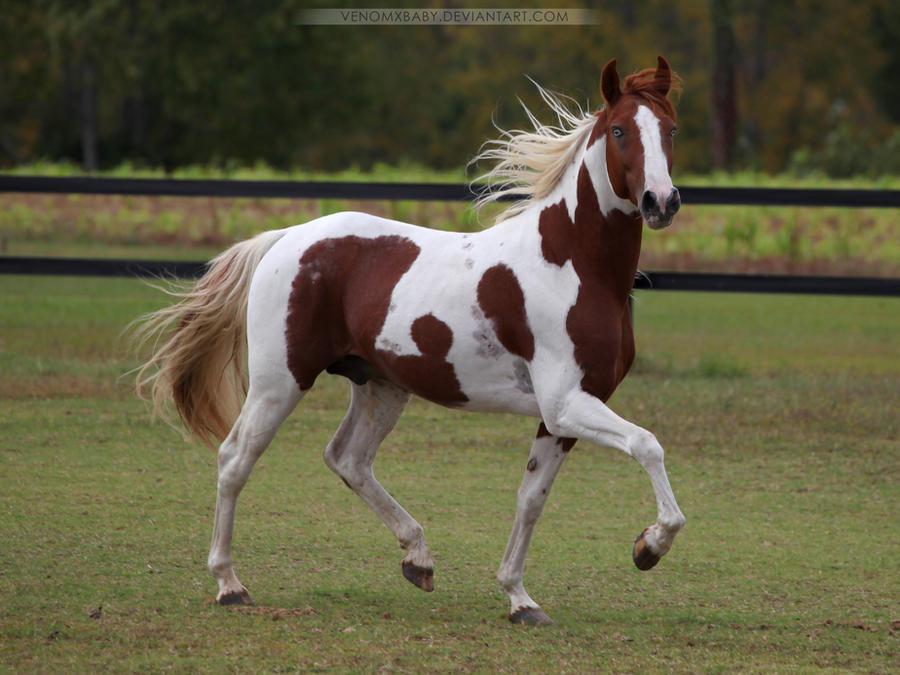 chestnut paint stallion 4 by venomxbaby
