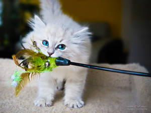 chew toy kitten