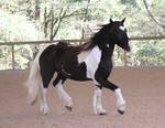 black and white gypsy vanner 1