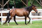 bay quarter horse mare 1