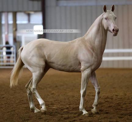 perlino akhal-teke stallion 1