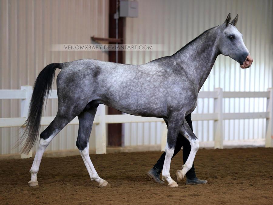 gray akhal-teke stallion 1 by venomxbaby on DeviantArt