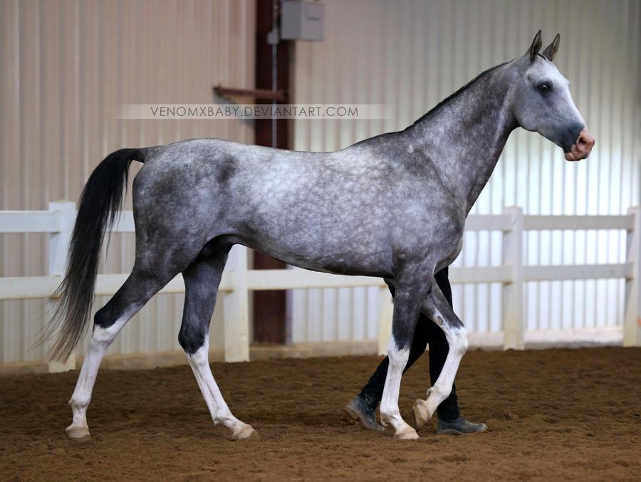 gray akhal-teke stallion 1