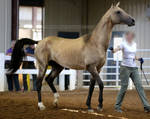buckskin akhal-teke stallion 1