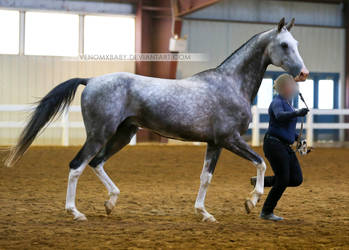 gray akhal-teke stallion 2 by venomxbaby