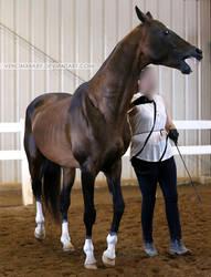 bay akhal-teke stallion 1