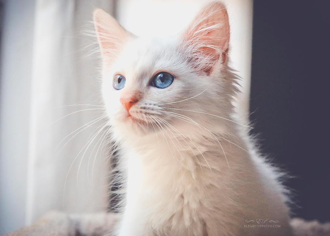 flame point kitten 1 by venomxbaby