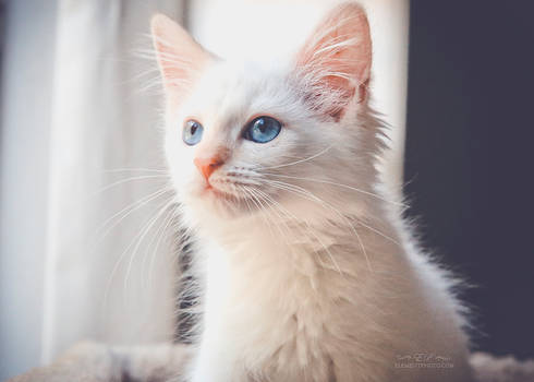 flame point kitten 1