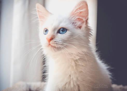 flame point kitten 1