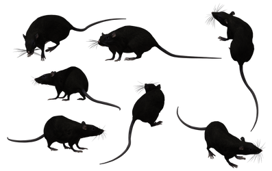Black Rat Set 11 by Free-Stock-By-Wayne