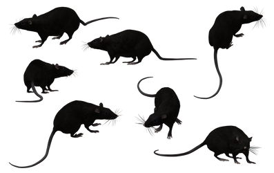 Black Rat Set 12 by Free-Stock-By-Wayne