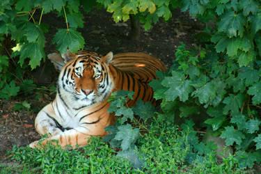 Tiger by scifilicious