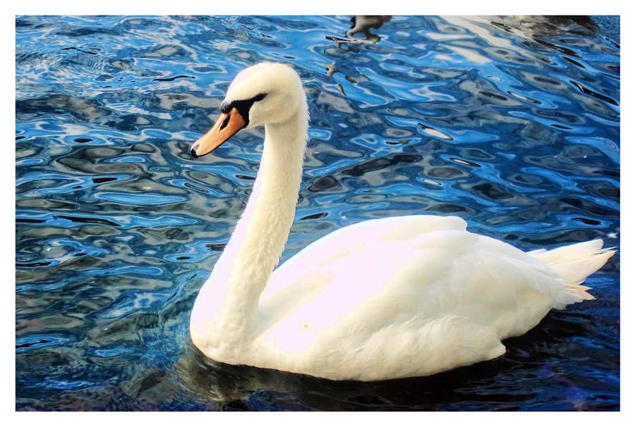 Swan on the river by WillowDana