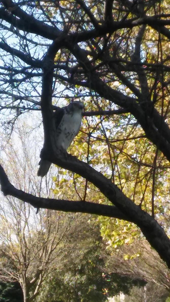 Hawk at rest by PatternSeeker86