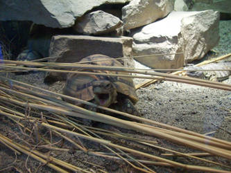 Wannabe Snapping Turtle