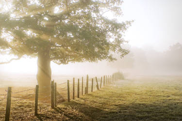 STOCK: Tree and fence in misty light