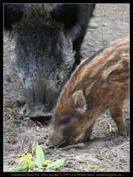 SAP: Wild Boar 1 by elsenator
