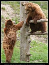 SAP: Brown Bear 2 by elsenator