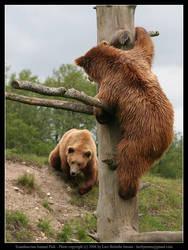 SAP: Brown Bear 5 by elsenator