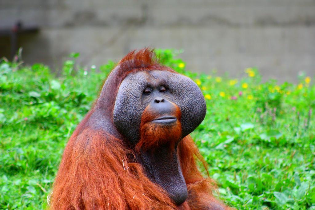 Orangutan King King Louie the Orangut...