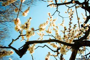 Japan White Cherry Blossoms
