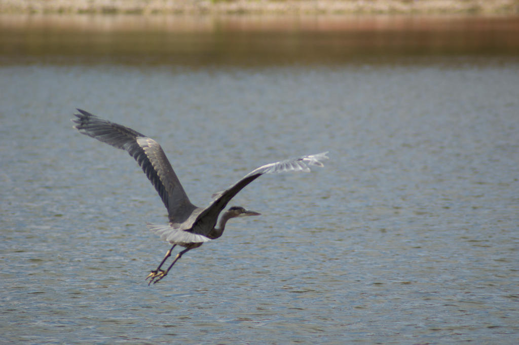 Great Blue Heron by KennBaker