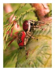 inci winci spider by lagagno