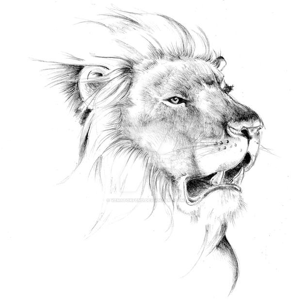 Lion sketch by venatorfend