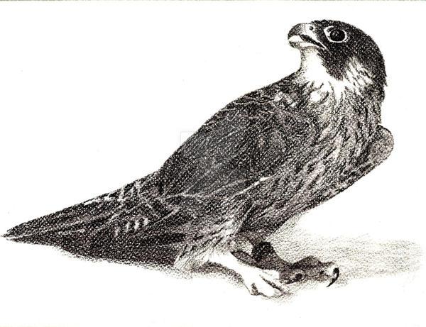 Falcon to contest by venatorfend