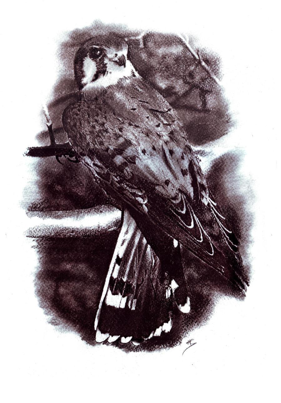 American Kestrel by venatorfend