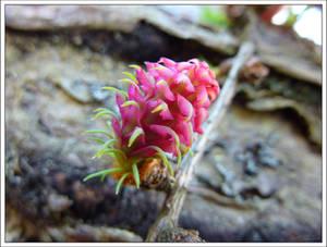 Larch Fruit