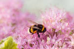 Bumblebee In Pink