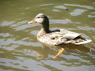 duck by squee43-stock
