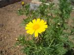 11/04/2015 - Yellow Daisy by Loupii