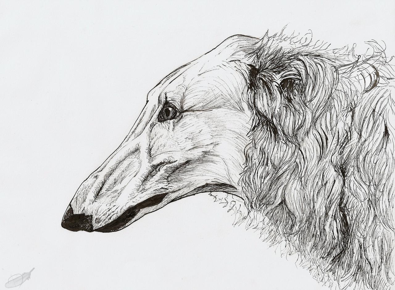 Borzoi portrait by Domisea