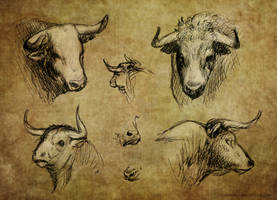 Iberian Bulls Head Sketches by Domisea
