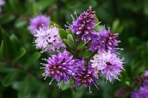 Purple Opulence by Maxidius