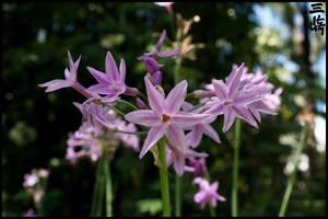 Violet Stars by Maxidius